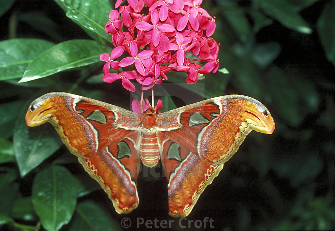 """""""The Atlas moth on a flower, Malaysia."""" stock image"""