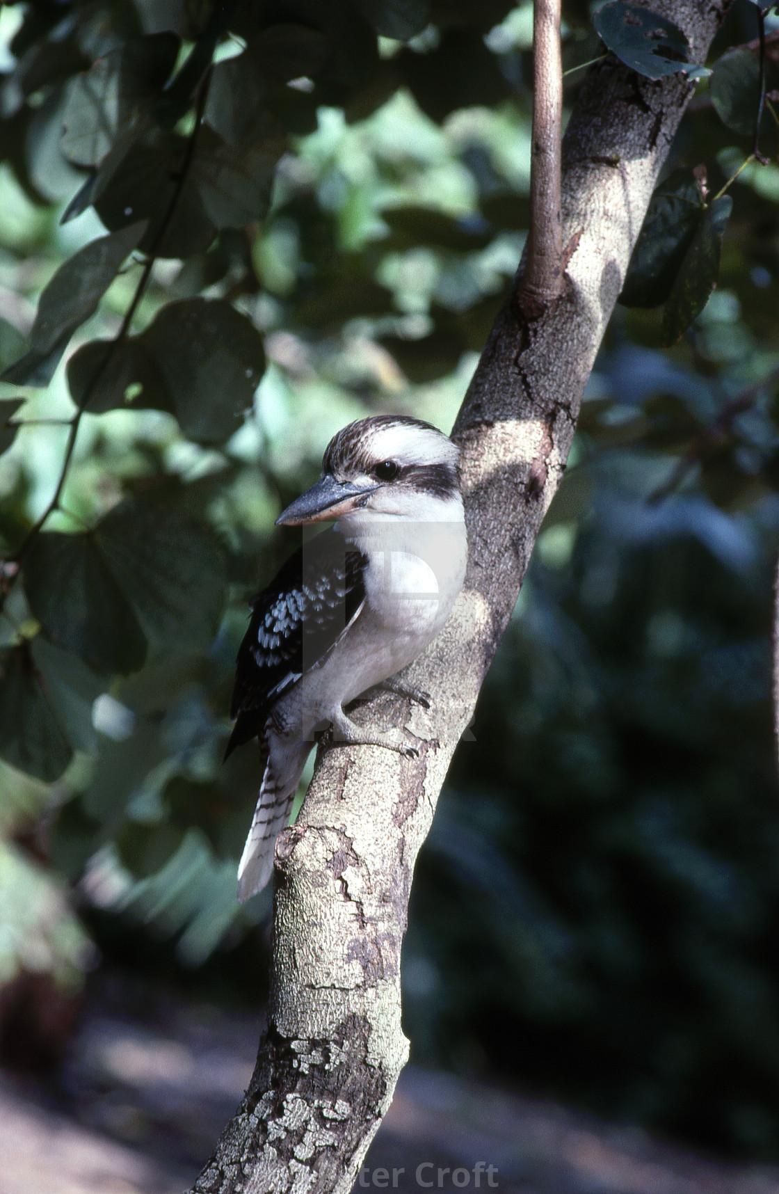"""""""Kookaburra on tree, Brisbane, Australia."""" stock image"""