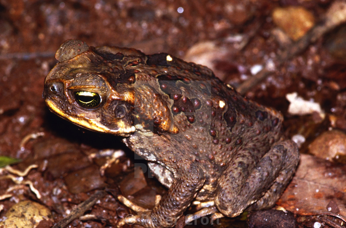 """Cane Toad, Bufo marinus, Queensland, Australia."" stock image"