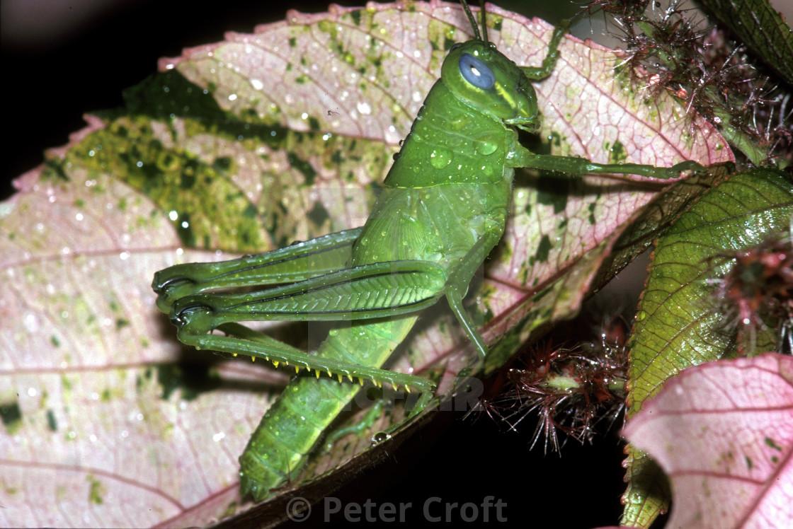 """Blue eyed cricket, Daintree rainforest, Queensland, Australia."" stock image"