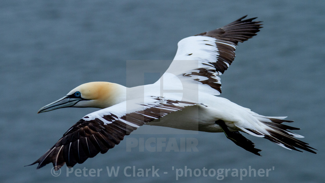 """Seabird, Gannet in Flight"" stock image"