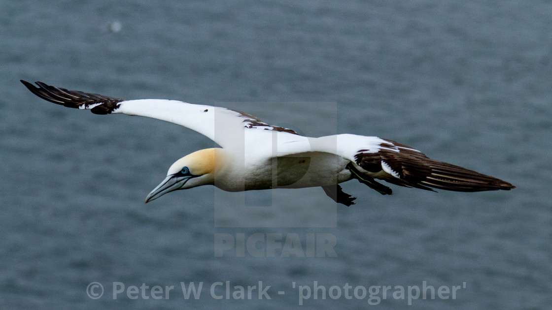 Seabird, Gannet in Flight