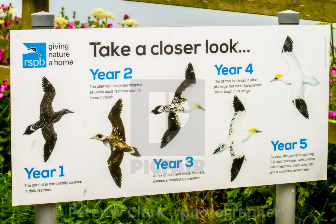 """Sign at Bempton Cliff Reserve describing Gannet plumage"" stock image"