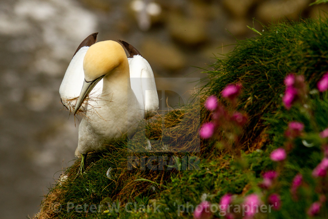 """""""Seabird, Gannet collecting nesting material"""" stock image"""