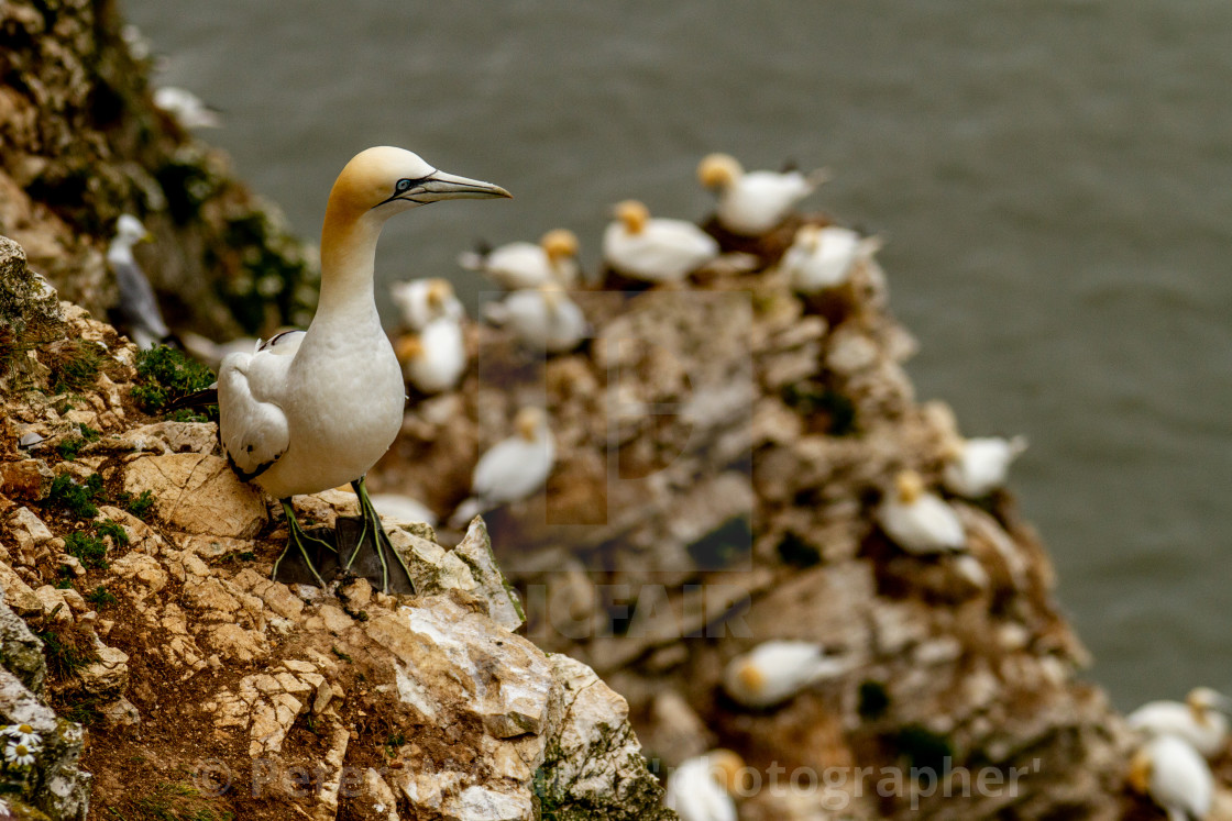 """Seabird, Gannet perched on cliffs"" stock image"