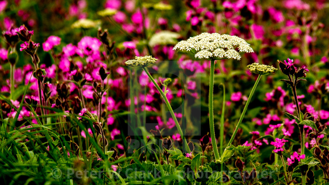 """The Queen Anne's Lace Plant"" stock image"