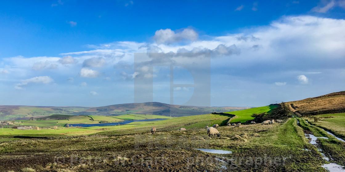 """Swaledale Sheep Grazing"" stock image"