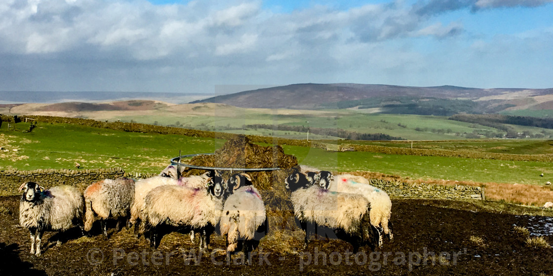 """""""Swaledale Sheep eating silage/hay from a ring feeder"""" stock image"""