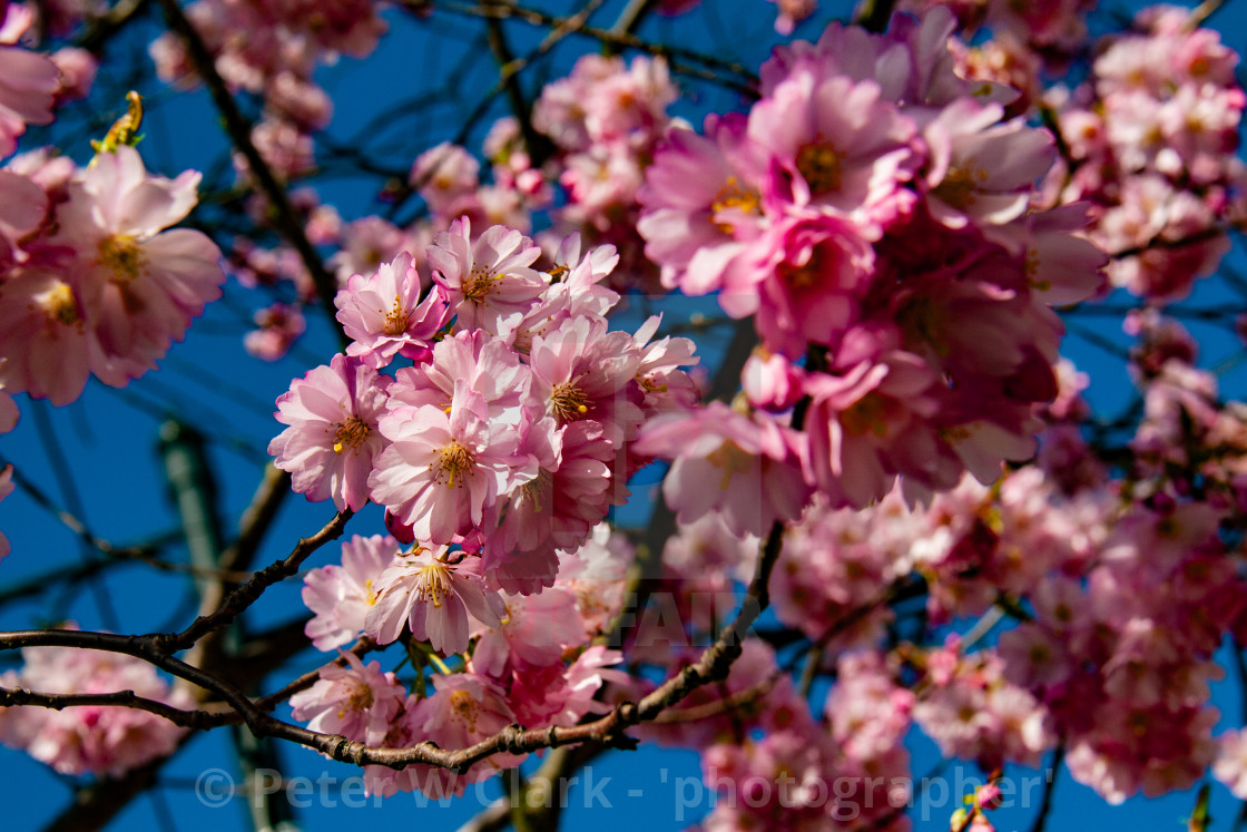 """Cherry Blossom in Spring Bloom"" stock image"