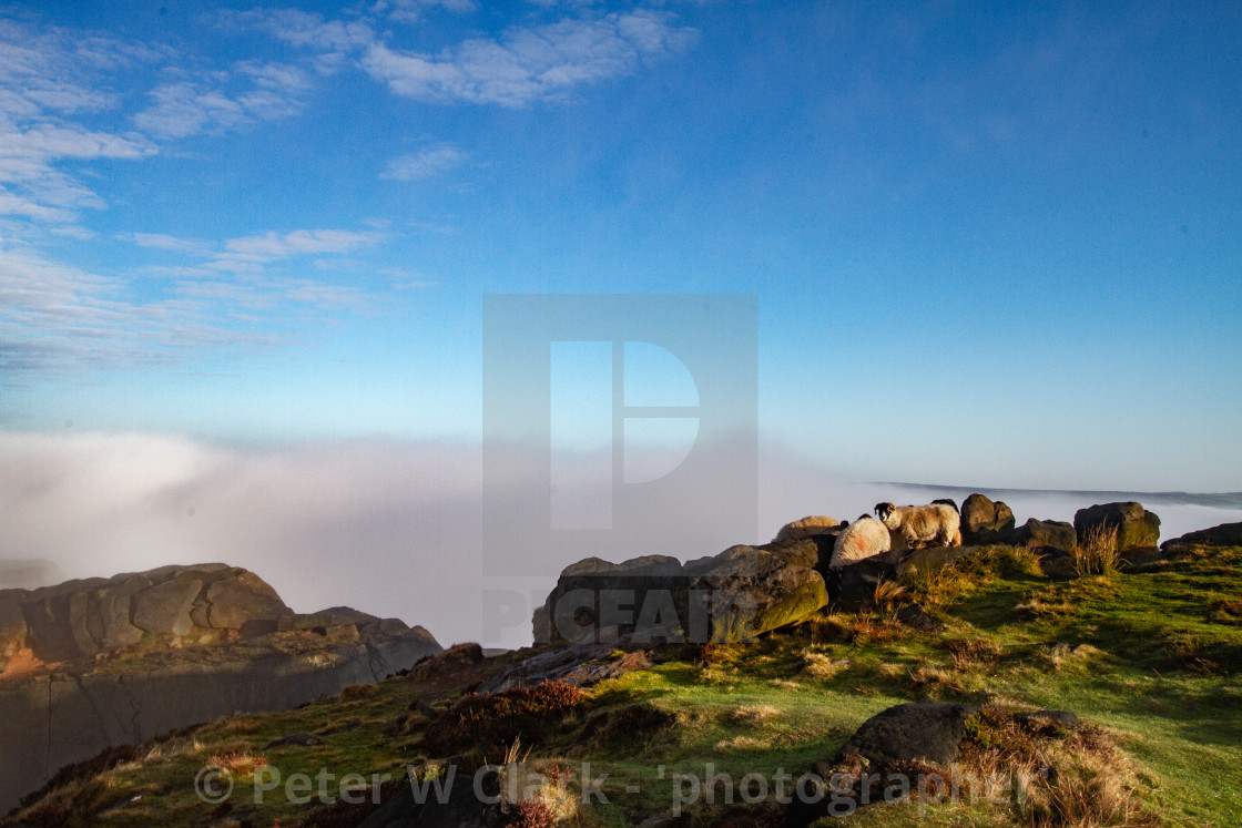 """Ilkley Moor in Early Morning Mist. Sheep in the Background."" stock image"