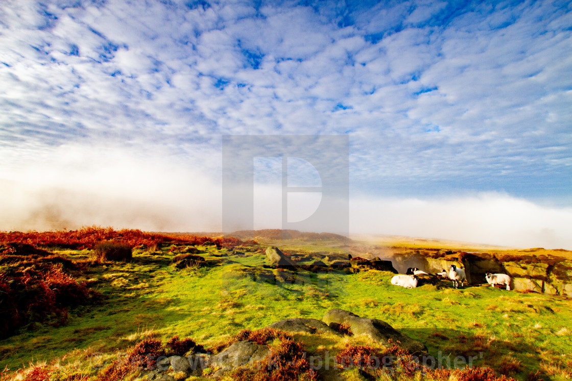 """Ilkley Moor in Early Morning Mist. Sheep to Foreground."" stock image"