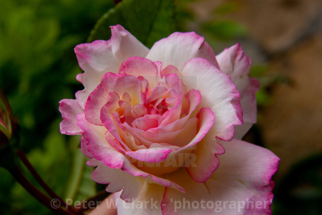 """Peace Rose"" stock image"