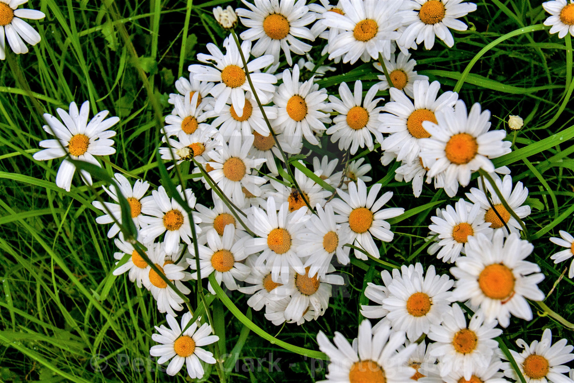 """Daisies in a Swaledale Meadow"" stock image"