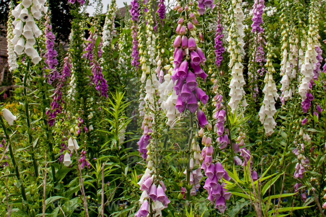 """Flowering White and Purple Foxgloves"" stock image"
