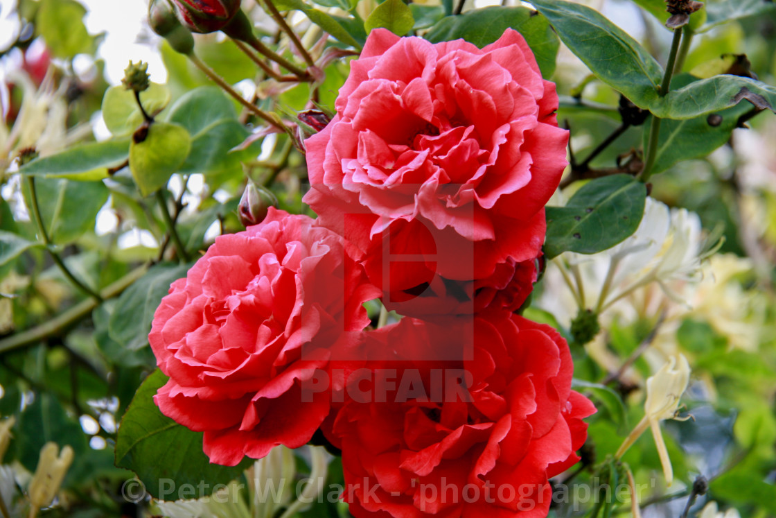 """Red Roses"" stock image"