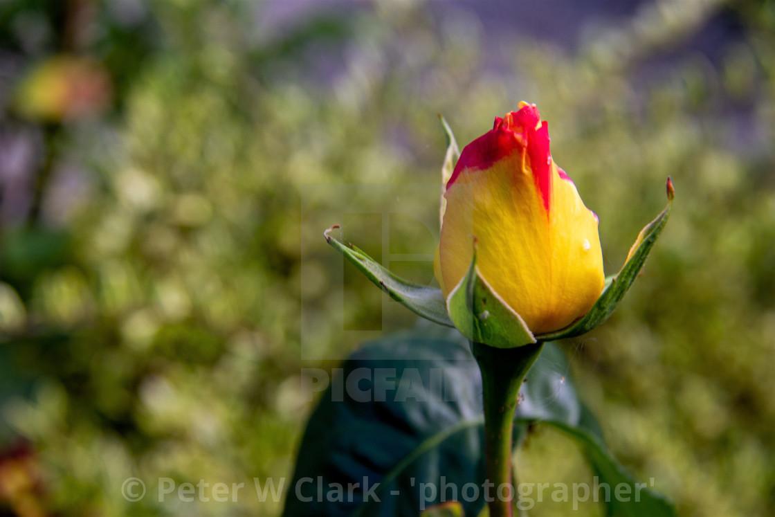 """Rosebud"" stock image"