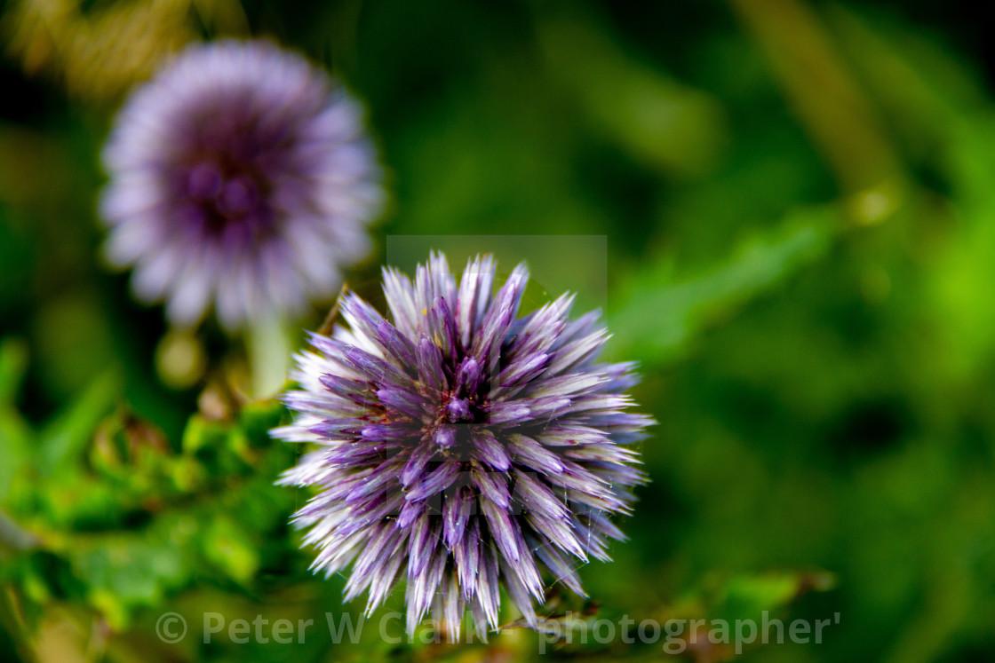 """Echinops Flowering Plant"" stock image"