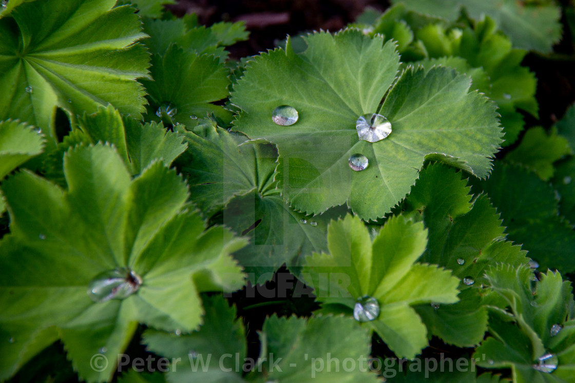 """Water Droplets on Leaf."" stock image"