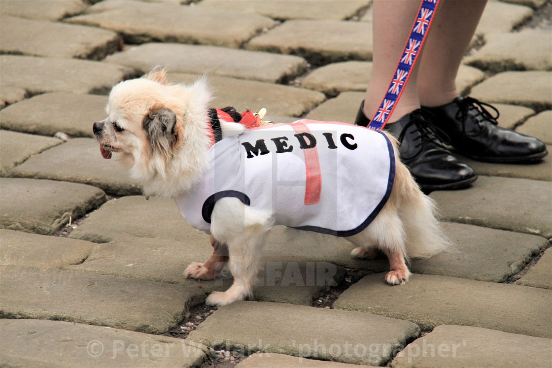 """Long Haired Chihuahua Dog Wearing 'Medic' Coat"" stock image"