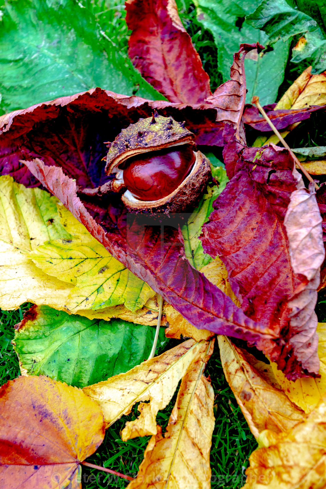 """Conker fallen from Horse Chestnut Tree onto a bed of Leaves in Ilkley Memorial Garden, Yorkshire, England"" stock image"