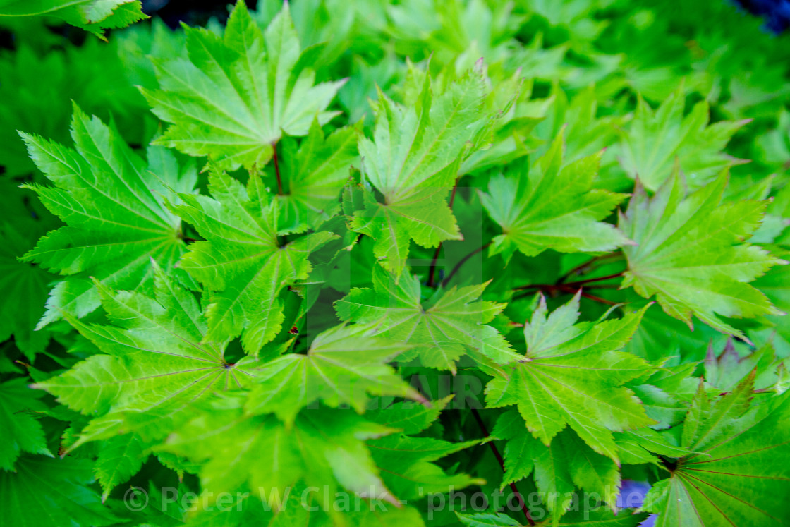"""Green Leaves"" stock image"
