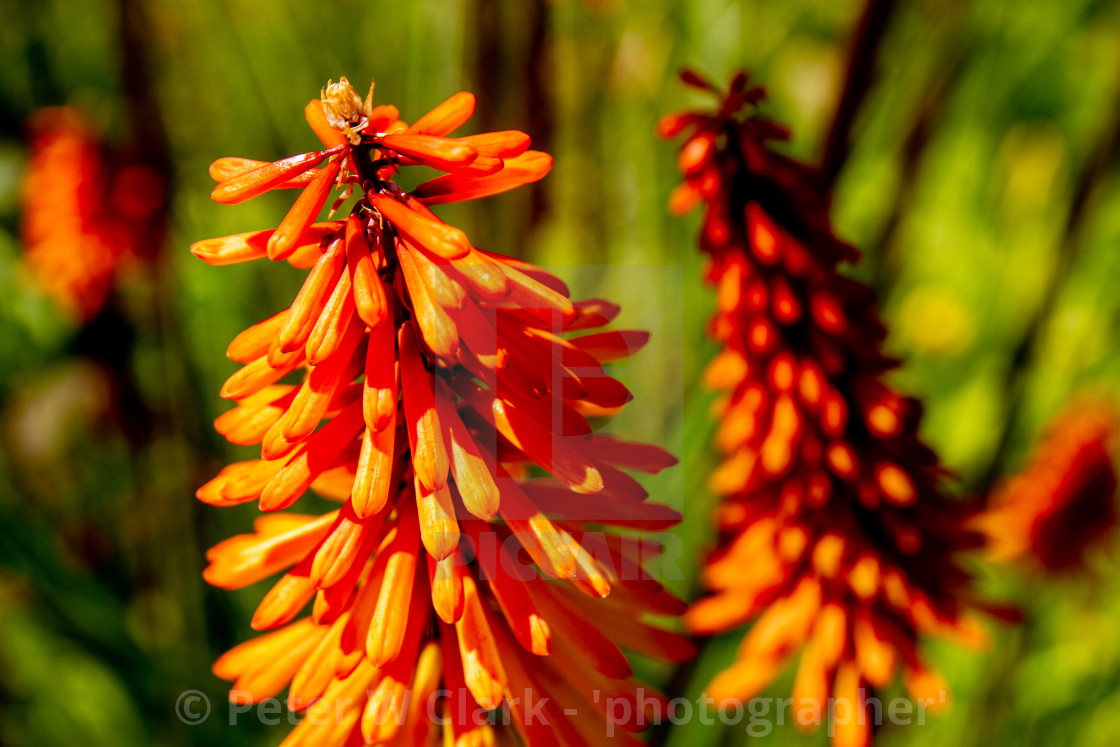 """Kniphofia. Colourful and exotic-looking, red-hot poker."" stock image"