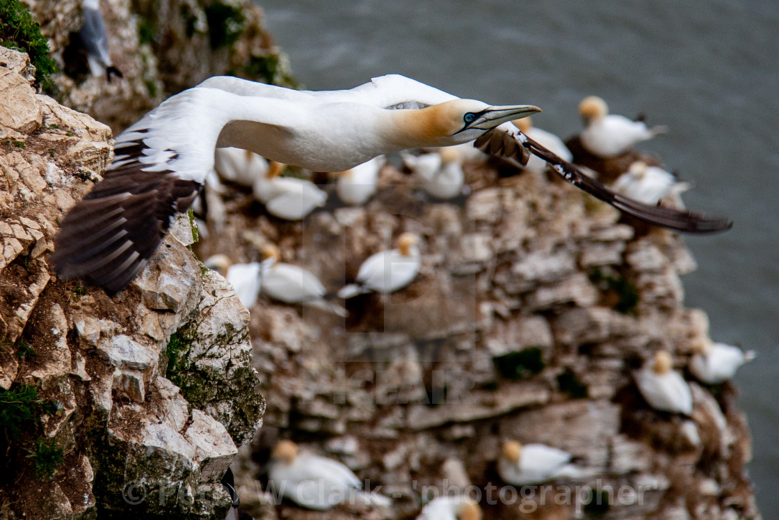 """Seabird, Gannet in Flight at the Bempton Cliffs RSPB Reserve on the Yorkshire Coast, England."" stock image"