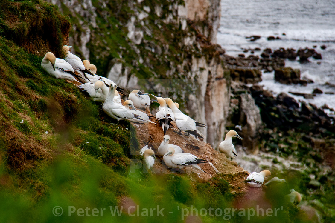 """Seabird, Gannet Colony Perched on Cliffs at the Bempton Cliffs RSPB Reserve on the Yorkshire Coast, England."" stock image"
