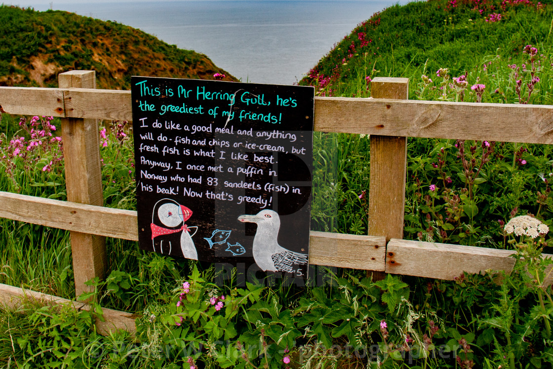 """Bempton Cliffs, Yorkshire, England. Descriptive Herring Gull Information Sign."" stock image"