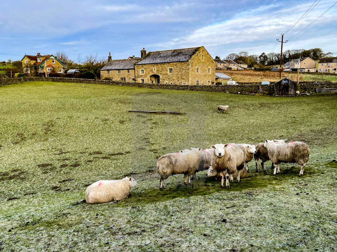 """""""Sheep Flock on a Frosty Morning in a Silsden Field, Yorkshire."""" stock image"""