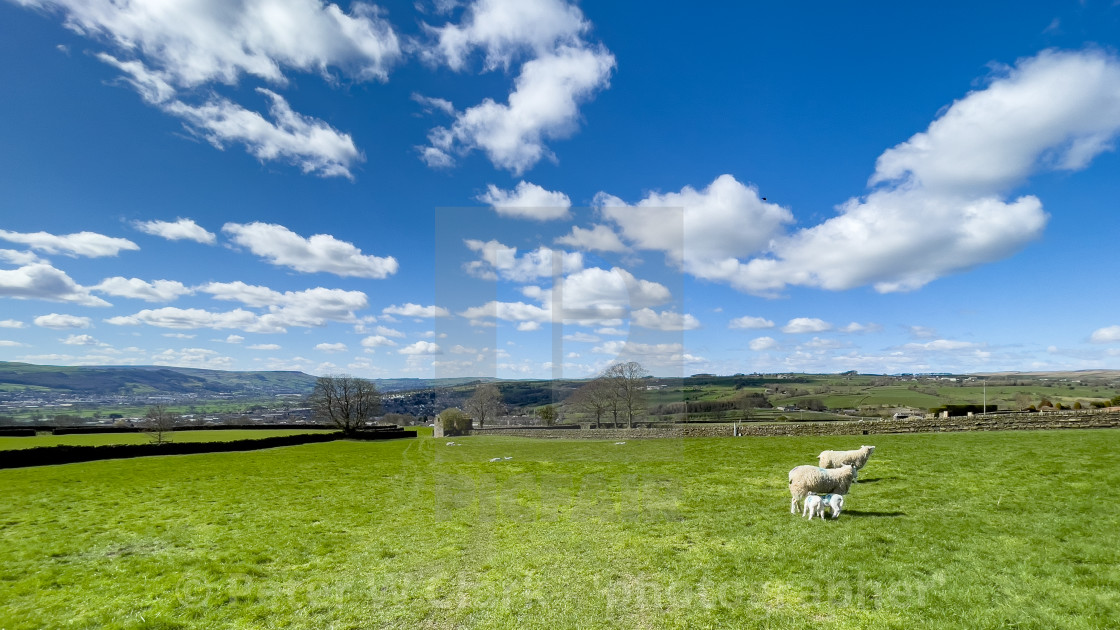 """""""Sheep and Lambs in Field on Sunny Spring Day."""" stock image"""