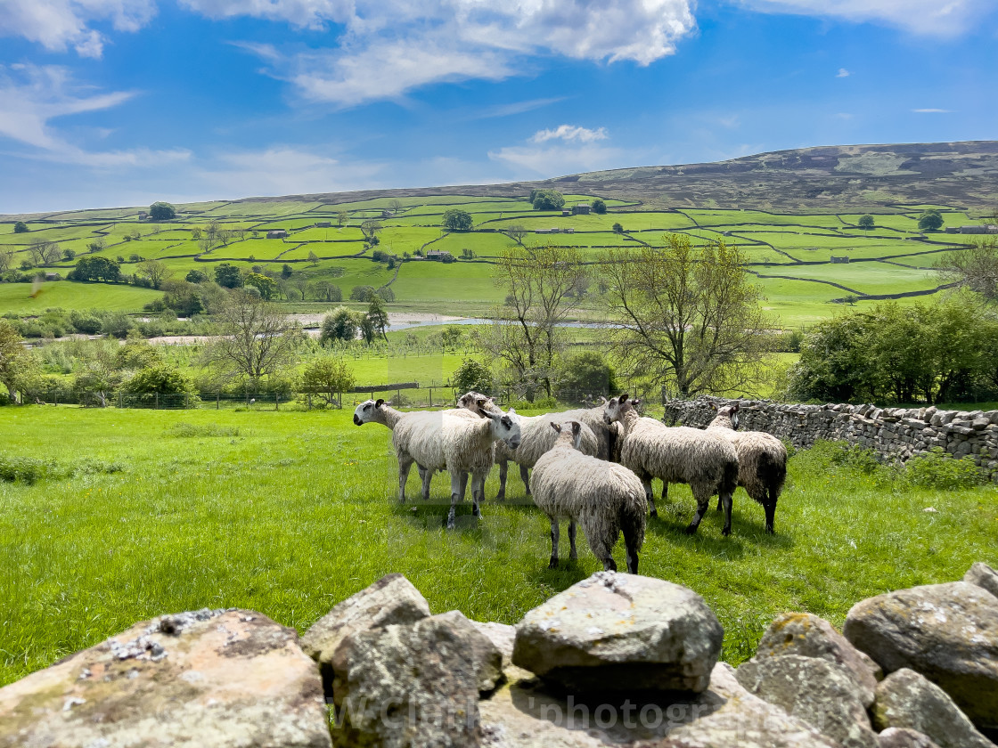 """""""Sheep in Swaledale Meadow."""" stock image"""