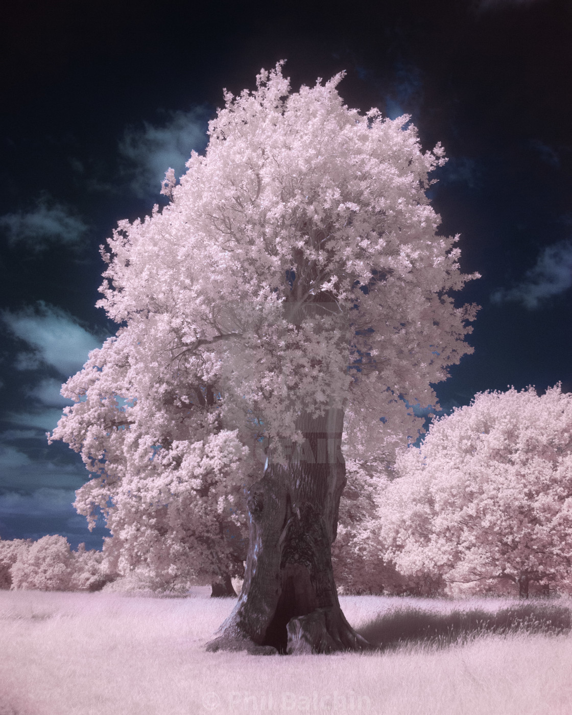"""Infrared Tree"" stock image"