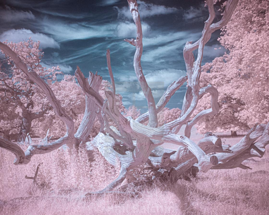 """Infrared Fallen Tree"" stock image"