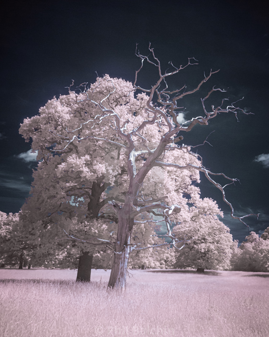 """""""A Tale of Two Trees in infrared"""" stock image"""