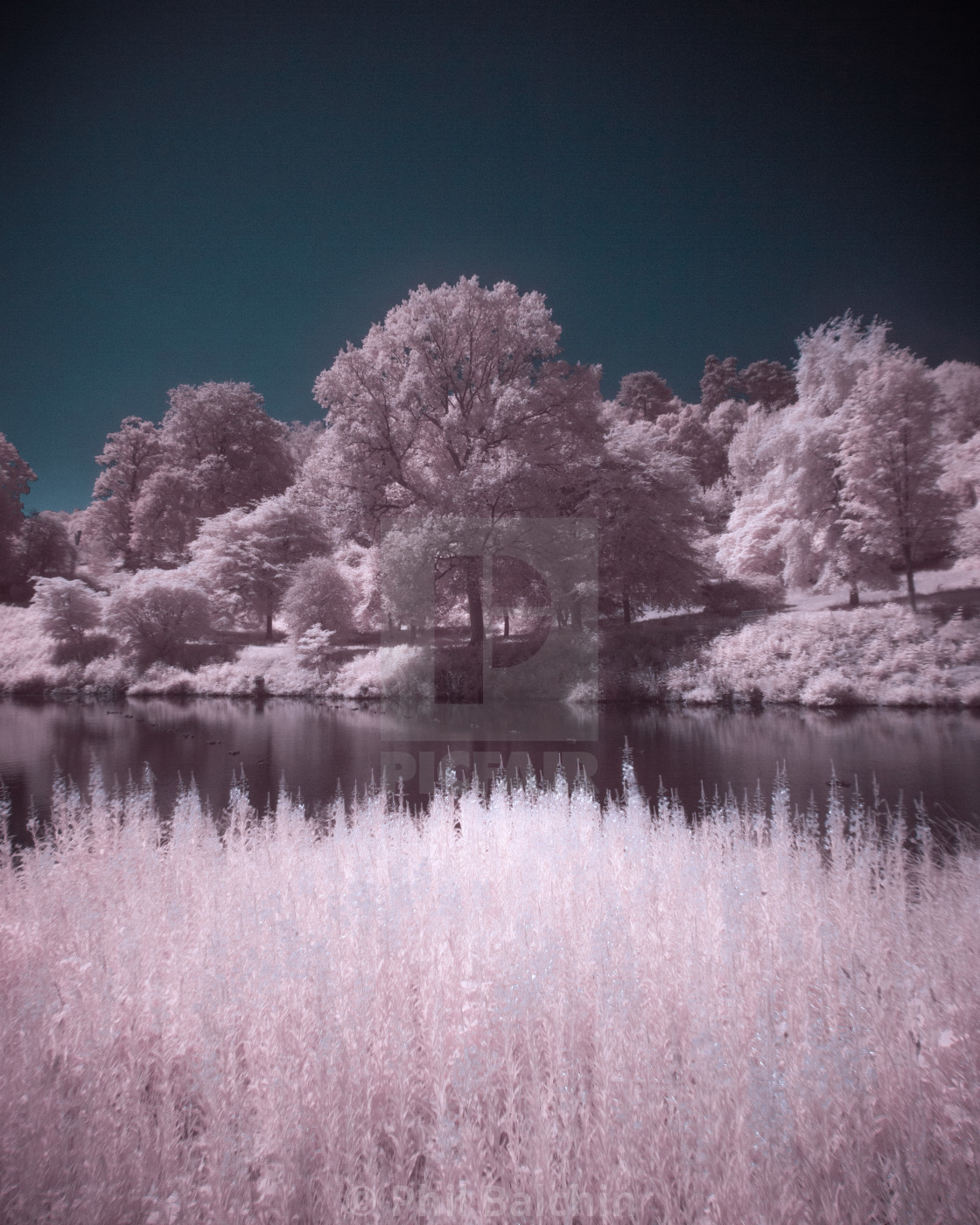 """""""Infrared Trees"""" stock image"""
