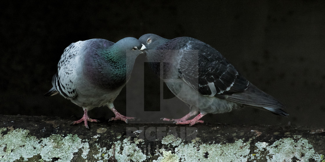 """Pigeon kiss"" stock image"