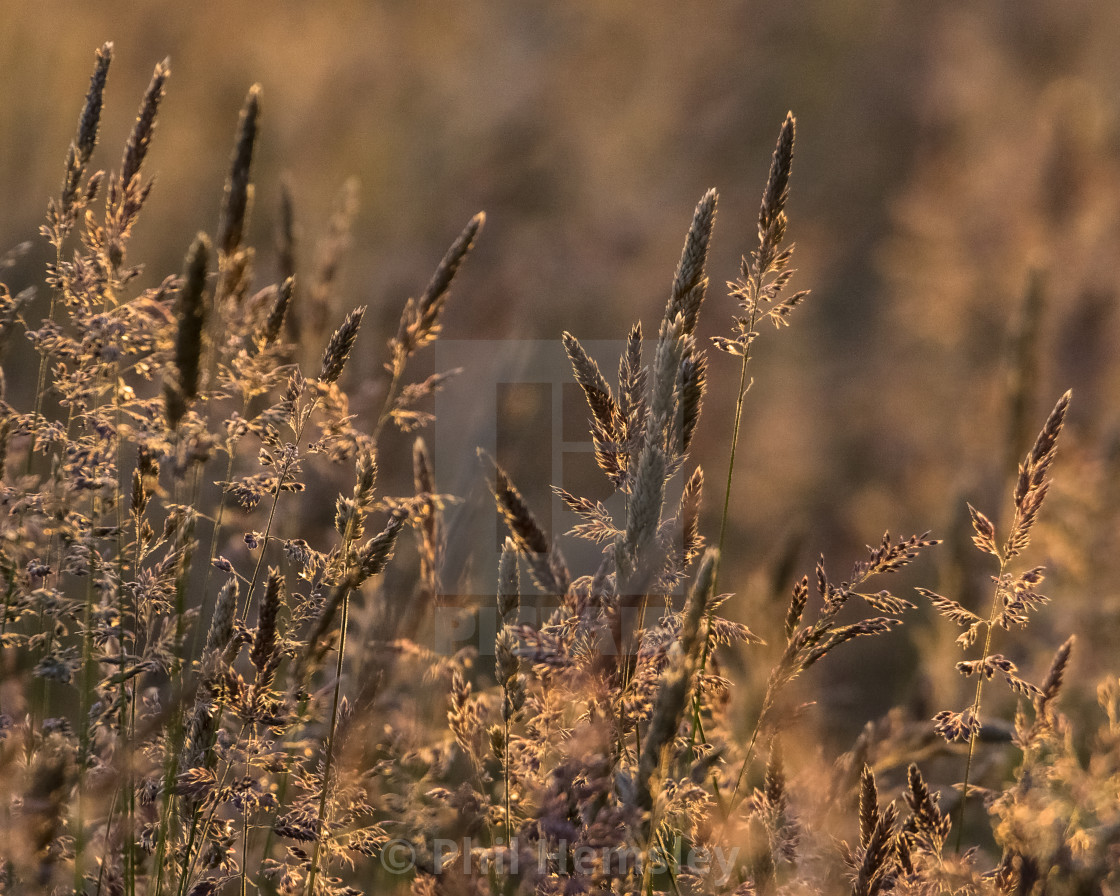 """Meadow - evening light"" stock image"