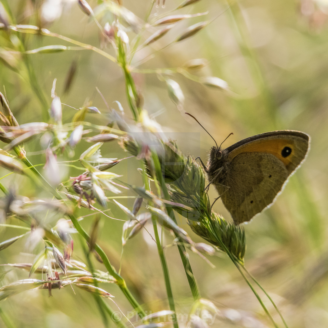 """Meadow Brown butterfly"" stock image"