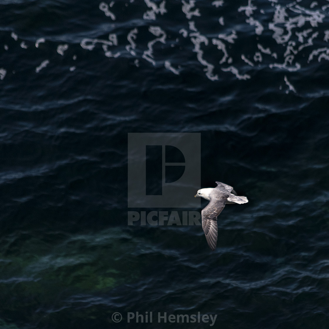 """Fulmar - Land's End"" stock image"