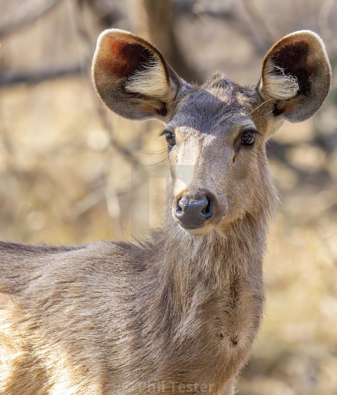 """Indian Deer"" stock image"