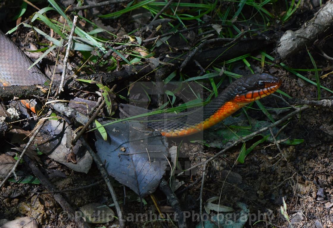 """Congaree Snake"" stock image"
