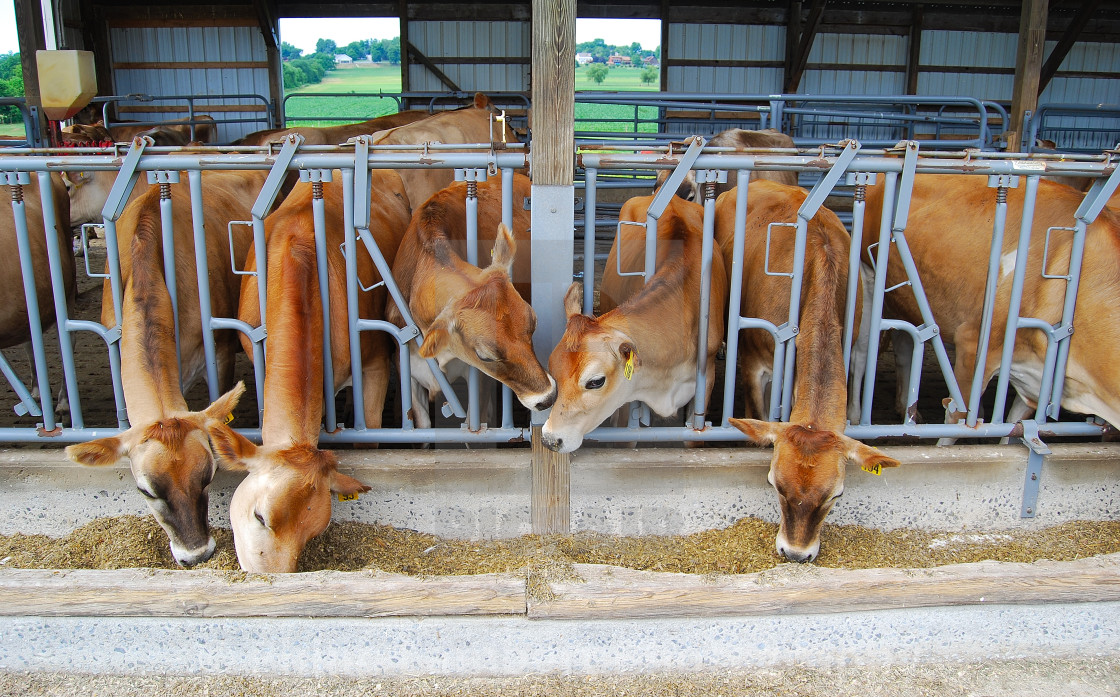 """""""Dairy Cows Lunchtime"""" stock image"""