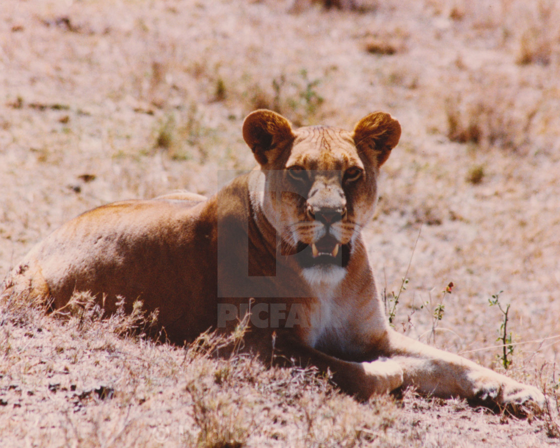 """""""Lioness you looking at me, I am looking at you."""" stock image"""