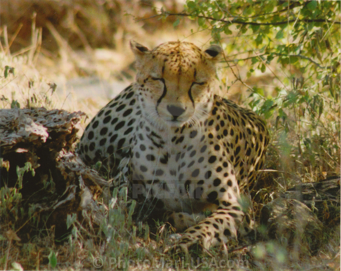 """""""Cheetah pregnant and Proud of it."""" stock image"""