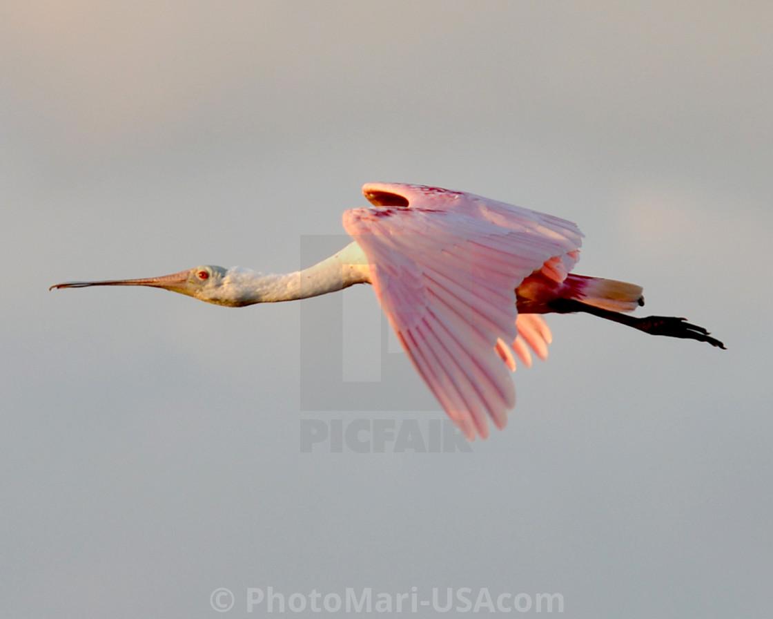 """""""Big Bird Pink"""" stock image"""