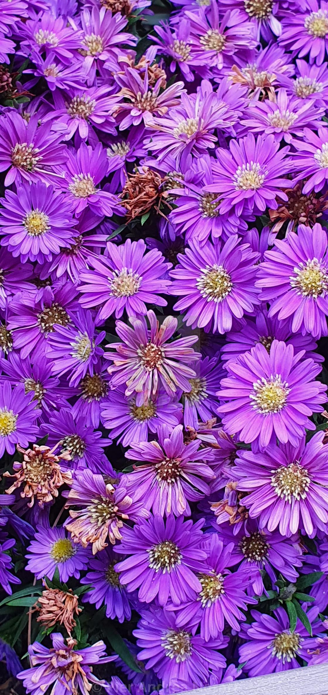"""Purple flowers close up"" stock image"