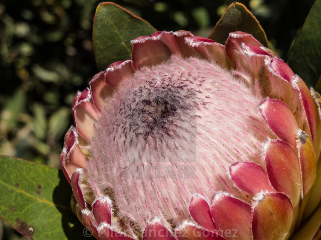 """King protea"" stock image"