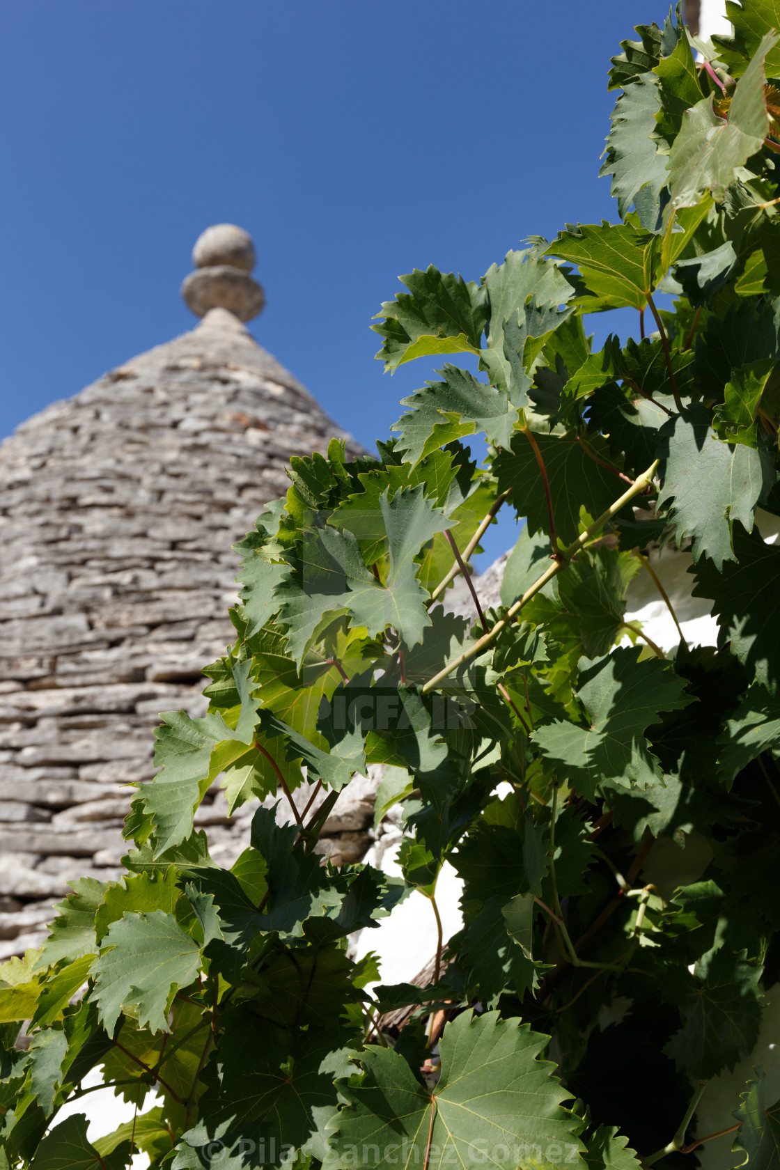 """Grapevine and trullo dome in the sun, Alberobello, Apulia, Italy"" stock image"