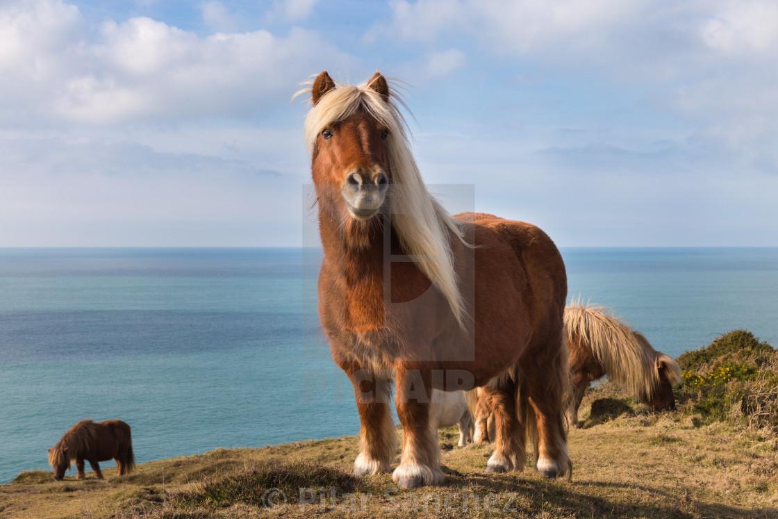 """Shetland wild ponies in Cornwall"" stock image"